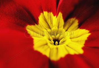 close up of a primrose