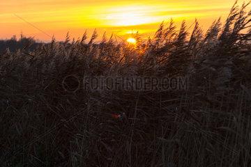 Hinte  Deutschland  Sonnenuntergang hinter sich im Wind bewegendem Schilf