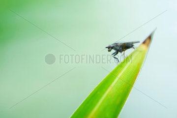 Flesh fly (sarcophaga) perched at pointed tip of leaf