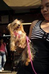 Stolze Besitzerin eines Yorkshire-Terriers auf dem Chatuchak-Markt / Bangko