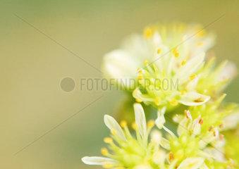 Sedum flowers  extreme close-up