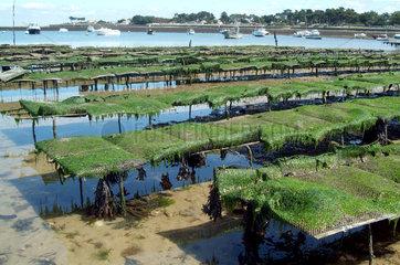 Bretagne - Austernzucht