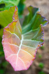 Leaf turning from green to orange and red in vegetable garden