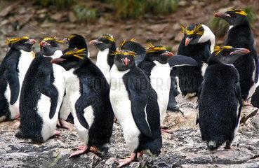 Goldschopfpinguine in Cooper Bay  Suedgeorgien  Antarktis