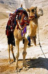 Kamel in der Negev Wueste  Israel