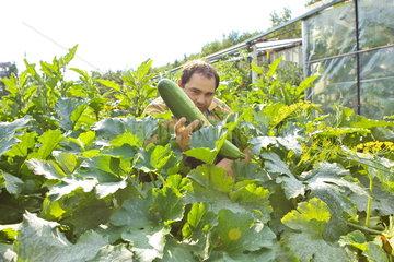 Zucchini-Ernte im Schrebergarten