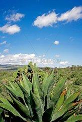 Agave in der mexikanischen Provinz San Luis Potosi