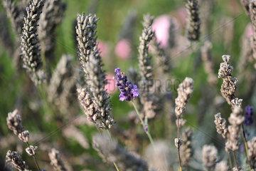 Oldenburg  Deutschland  Lavendel in einem Garten