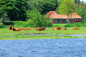 Weide mit Galloway-Rindern