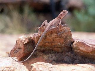Australien: Eidechse im Watarrka (Kings Canyon)Nat. Park