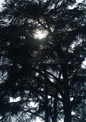 Evergreen trees  low angle view