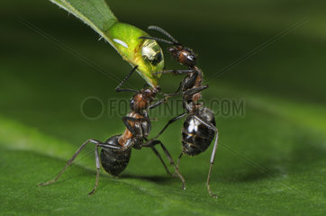 Two European wood ants drinking water