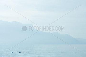 Switzerland  swans on Lake Geneva