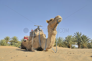 Dromdar beim Kameltrekking in Marokko