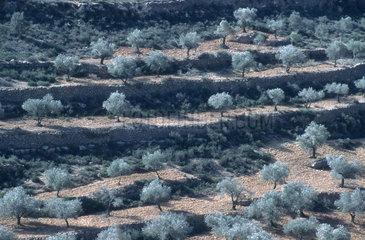 Olivenhain im Nahat-Tirza Tal (Westbank  Palaestina)