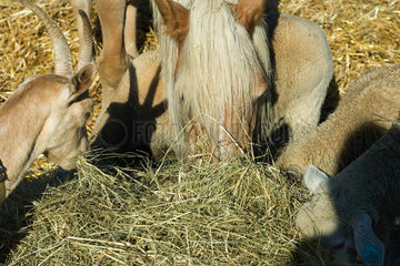 Farm animals eating hay  close-up