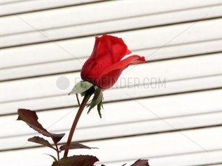 Bluehende rote Rose