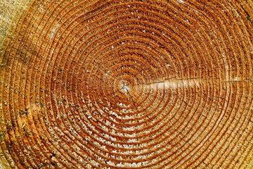 Nationalpark Eifel: Jahresringe in einem Baumstumpf