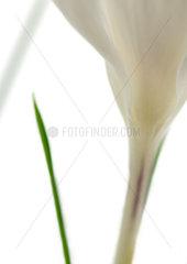 White crocus  close-up