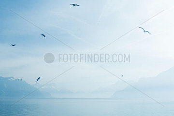 Switzerland  gulls flying over Lake Geneva