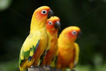 Singapore  Jurong BirdparkSun Conure parrots