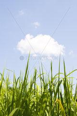 Tops of cane stalks against blue sky