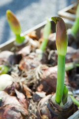 Amaryllis sprouting out of bulbs