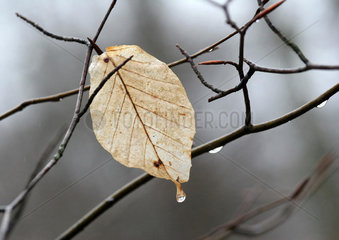 Leaf on tree  dripping
