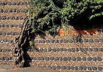 Altes Rankgewaechs an einer Ufermauer in Bonn