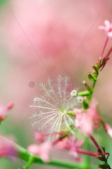 Pink flowers and seed head