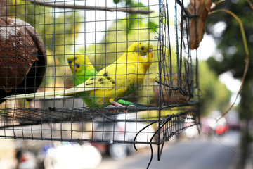 Kanarienvogel im Kaefig