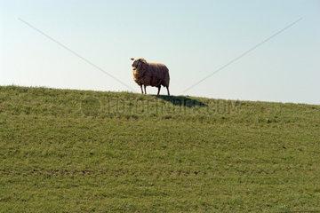 Schaf auf einem Deich bei Emden