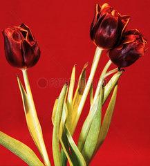 Berlin  rote Tulpen vor rotem Hintergrund