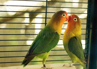 Parakeets kissing