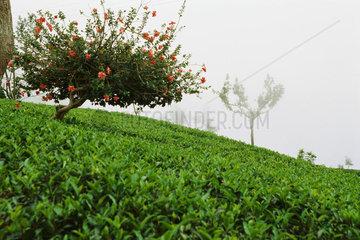 Tea plantation in mist  Darjeeling  India
