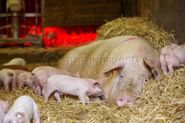 Oekologische Schweinezucht