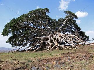Aethiopien: Grosser Baum nach einem Blitzeinschlag