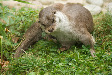 Otter cautiously looking down