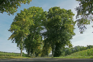 Tree-lined avenue in the Wendland  Lower Saxony  Germany  Europe