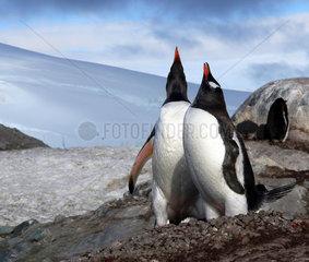 Antarktis  singende Pinguine