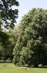 Bluehender Kastanienbaum im Stuttgarter Schlossgarten