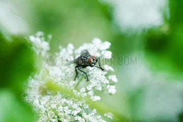 Flesh fly (sarcophaga) on white flowers