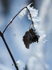 Riedlingen  gefrorenes Laubblatt an einem Zweig