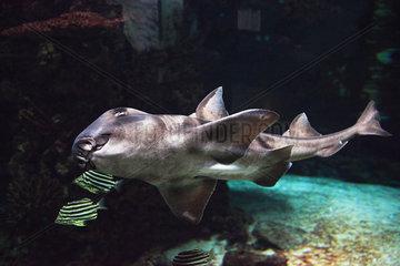Port-Jackson-Bullheadshark - Zoo Hagenbecks Tierpark Hamburg