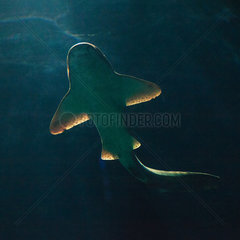 Zebra shark - Zoo Hagenbecks Tierpark Hamburg