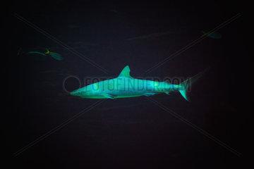 Grey reef shark - Zoo Hagenbecks Tierpark Hamburg