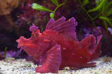 Weedy scorpionfish - Zoo Hagenbecks Tierpark Hamburg