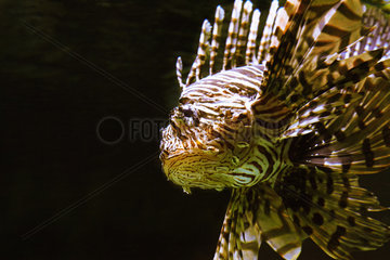 Pacific red lionfish - Zoo Hagenbecks Tierpark Hamburg
