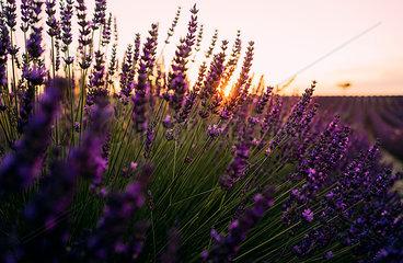 France  Alpes-de-Haute-Provence  Valensole  lavender blossoms on field at sunset
