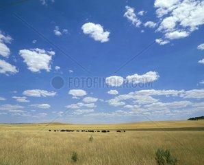 Usa  Utah  buffalos (Bison bison) on prairie